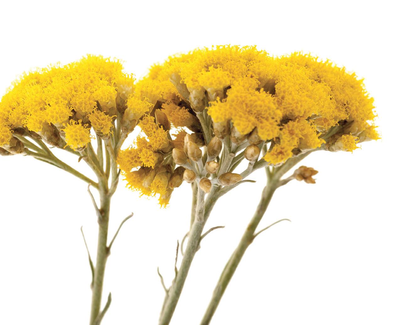 Ekstrak Bunga Immortelle Jadi Produk Perawatan Kulit Wajah L'Ocitanne